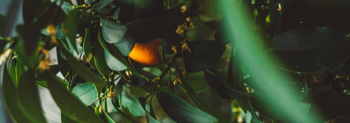 drzewko z pomarańczą